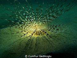 Pachycerianthus solitarius by Cumhur Gedikoglu