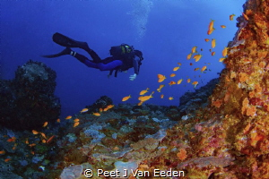Gliding through the deep blue waters of Seven mile reef a... by Peet J Van Eeden