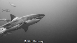 Imax the 4.6m Great White Shark of the Neptune Islands by Kim Ramsay