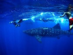 We swam with this big guy for almost an hour. He brushed ... by Holly Heffner