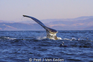 Swimming with Southern Right Whales during the recent sar... by Peet J Van Eeden