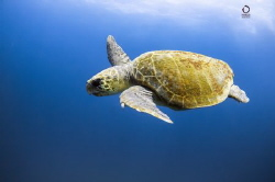 Caretta Caretta swimming in the blue by Marco Calvani