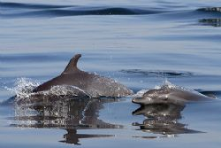 Our local bottlenose. canon 350d. 70-300mm. by Tyania Diffin