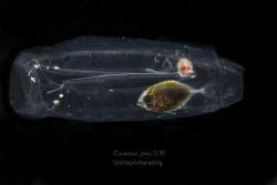 Juvenile Jackfish finds safety inside Salp by Wayne Jones