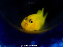Lemon Gobi by Ajiex Dharma