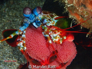 Mantis shrimp with eggs by Marylin Batt