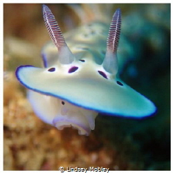 Goniobranchus kunei by Lindsey Mobley