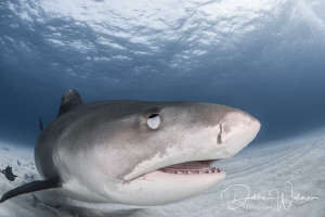 This large female tiger shark came close enough to my dom... by Debbie Wallace