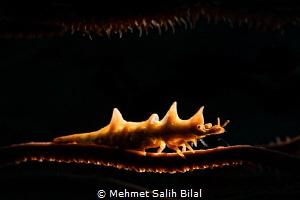 Dragon shrimp. by Mehmet Salih Bilal