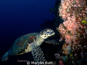 Hawksbill Turtle by Marylin Batt