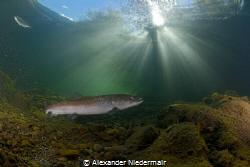 Big Hucho Hucho in a River in Austria by Alexander Niedermair