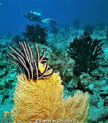 The corals and the diver seems to be easy picture for a s... by Svetoslav Dimitrov