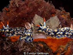 Octopus vulgaris & Hypselodoris infucata Double trouble!... by Cumhur Gedikoglu