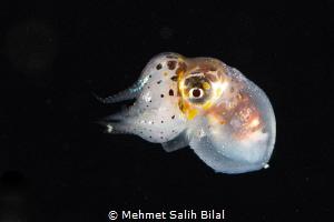Baby squid. Blackwater dive in Anilao. by Mehmet Salih Bilal