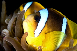 Clownfish, Dahab, Red sea. by Filip Staes