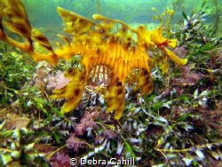 The beautiful Leafy Sea Dragon Wool Bay South Australia by Debra Cahill