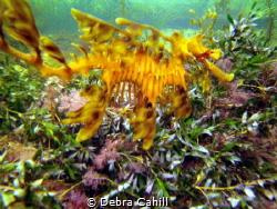 The beautiful Leafy Sea Dragon Wool Bay South Australia by Debra Cahill