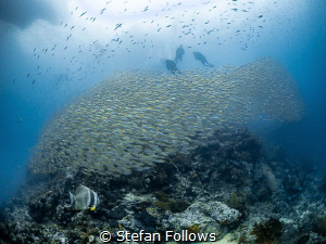 co·nun·drum  Smoothtailed Trevally - Selaroides leptole... by Stefan Follows