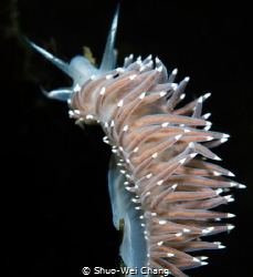 Red Flabellina by Shuo-Wei Chang