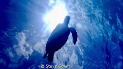 Hawksbill Sea Turtle silhouetted by the sun while snorkel... by Steve Dolan