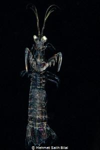 Mantis shrimp looks like a ghost. by Mehmet Salih Bilal