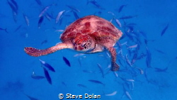 """""""Curious"""" Green Sea Turtle came in for a closer look at t... by Steve Dolan"""
