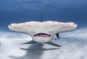 A very large female hammerhead shark comes straight up to... by Debbie Wallace