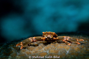 Crab on the coral. by Mehmet Salih Bilal