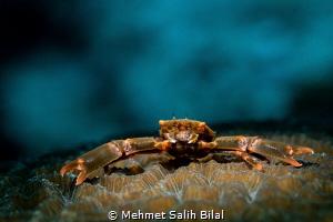 Crab on the coral. by Mehmet Salih Bilal