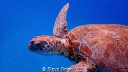 """Friendly"" Green Sea Turtle calmly swimming around me. Ta... by Steve Dolan"