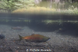 A Kokanee salmon coming to spawn in the Metolius River in... by Michelle Alvarado