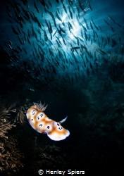 Leopard Nudibranch & Schooling Jacks (in camera double ex... by Henley Spiers