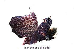 Magnificient goby. by Mehmet Salih Bilal