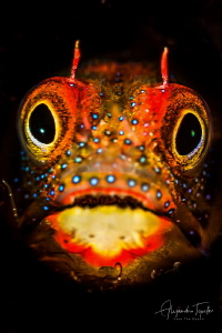 Blenny close Up, Acapulco México by Alejandro Topete
