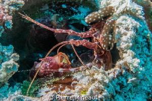 Alien a.k.a. Spearing mantis by Pierre Mineau