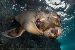 Sea Lion Pup by Nick Polanszky