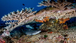 Two small white tip reef sharks live under the hard coral... by Qunyi Zhang