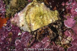 Beautiful legs  Hermit crab with its typical blue strip... by Peet J Van Eeden