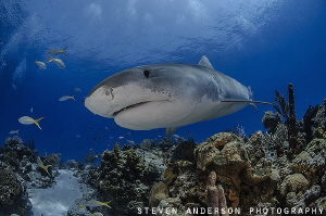 Tiger Sharks frequent the reefs off the Bahamas and stay ... by Steven Anderson