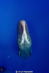 Sperm Whale surfacing from the depths. Trailing tentacle ... by Arun Madisetti