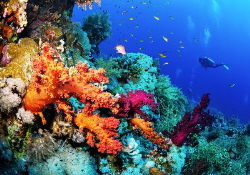 Beautiful coral reef with soft corals and the diver. by Sergey Lisitsyn