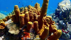 """""""Sponge Colony"""" a healthy group of Yellow Tube Sponges at... by Steve Dolan"""