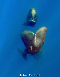 Trio of whales rises form the deep (image under permit) by Arun Madisetti