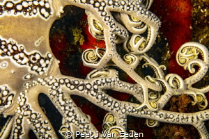 The integrate patterns of a basket star's arms by Peet J Van Eeden