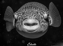 Zoetwaterkogelvis, Tetraodon mbu in space by Eduard Bello