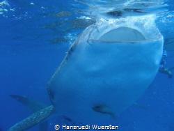 Whalshark close under the surface by Hansruedi Wuersten