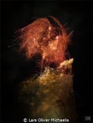 hairy shrimp - Lembeh Strait by Lars Oliver Michaelis