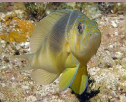 A Barred Hamlet, another of my favorite little fish. Niko... by Jim Chambers