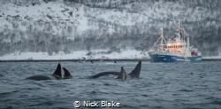 Orca pod, Spildra, Norway by Nick Blake