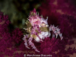 Hoplophrys oatesii Candy crab with eggs Lembeh strait .... by Marchione Giacomo